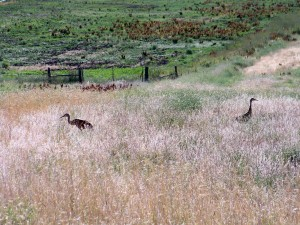 Resident Sand Hill Crane at Winjes Farm