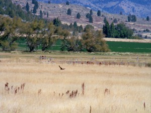 Hawk in Meadow